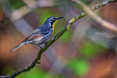 Chirp Photograph - Yellow-throated Warbler by Rick Berk