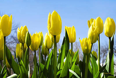 Yellow Tulips Print by Christina Rollo