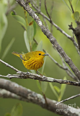 Yellow Warbler In Cuba Print by Neil Bowman/FLPA