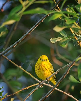 Yellow Warbler Portrait Print by Bill Wakeley