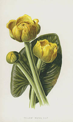 Lilies Drawing - Yellow Water Lily by Frederick Edward Hulme