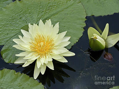 Yellow Water Lily With Bud Nymphaea Print by Heiko Koehrer-Wagner
