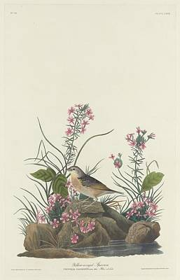 Sparrow Drawing - Yellow-winged Sparrow by John James Audubon