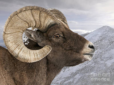 Yellowstone Big Horn Ram Print by Wildlife Fine Art