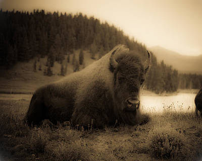 Yellowstone Bison 2 Print by Patrick  Flynn