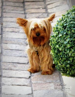 Yorkie In France Print by Lainie Wrightson