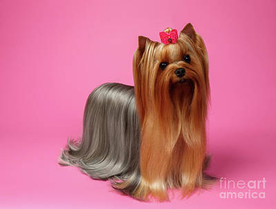 Yorkshire Terrier Dog With Long Groomed Hair Stands On Pink   Print by Sergey Taran