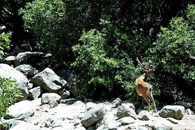 Rural Photograph - Yosemite Mule Deer On The Rocks by LeeAnn McLaneGoetz McLaneGoetzStudioLLCcom