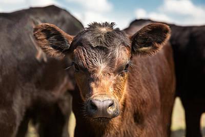 Calf Photograph - Young Angus by Todd Klassy