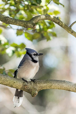 Cyanocitta Cristata Photograph - Young Blue Jay Profile by Terry DeLuco