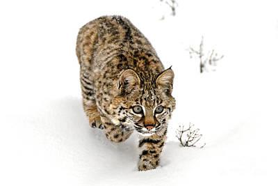 Young Bobcat Stalking Print by Melody Watson
