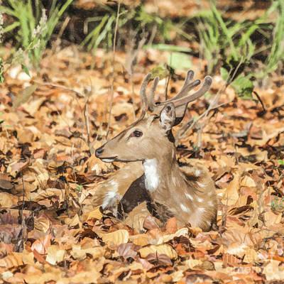 Deer Digital Art - Young Chital Stag In Velvet by Liz Leyden