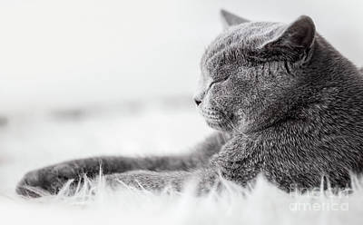 Cat Photograph - Young Cute Cat Sleeping On Cosy White Fur. The British Shorthair by Michal Bednarek