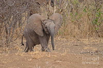Photograph - Young Elephant Flared Ears Twurl by Tom Wurl