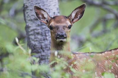 Young Elk  Cervus Canadensis , Jasper Print by Robert Postma
