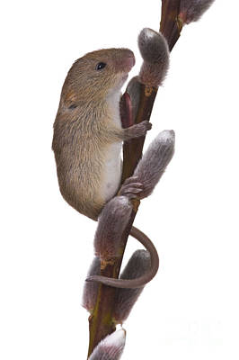 Mice Photograph - Young Eurasian Harvest Mouse by Jean-Louis Klein & Marie-Luce Hubert