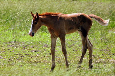 Young Foal Print by Marty Koch