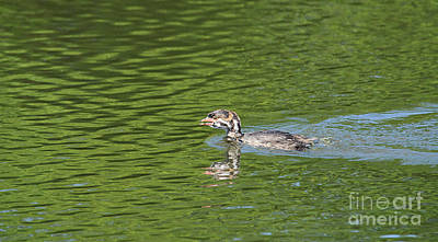 Young Grebe Print by Marv Vandehey