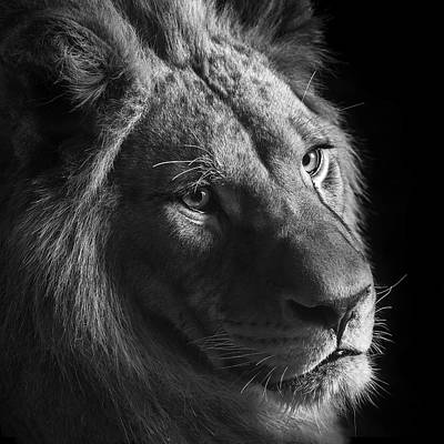 Lion Photograph - Young Lion In Black And White by Lukas Holas