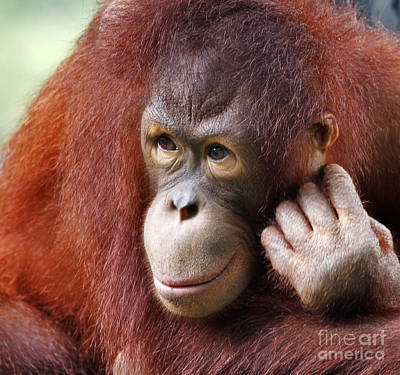 Young Orang Utan Looking Thoughtful Print by Louise Heusinkveld