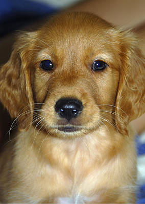 Golden Retriever Puppy Photograph - Young Sam by Stephen Anderson