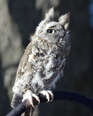 Owl Photograph - Young Screech Owl by Philip Ralley