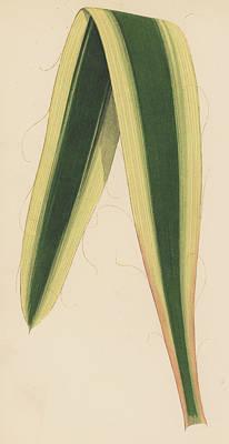 Garden Drawing - Yucca Leaf by English School