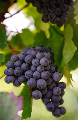 Grapevine Photograph - Yummy Berries by Jenny Rainbow