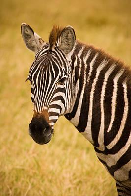 Zebra Photograph - Zebra by Adam Romanowicz