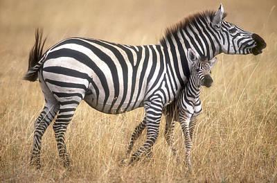 Zebra And Foal Print by Johan Elzenga