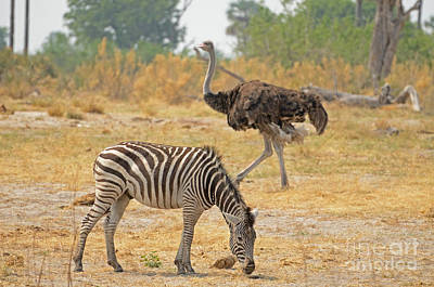 Photograph - Zebra And Ostrich Tom Wurl by Tom Wurl