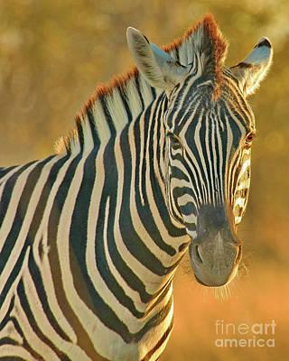 Zebra At Sunset Original by Tom Cheatham