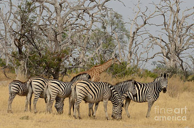 Photograph - Zebra Group With Giraffe Tom Wurl by Tom Wurl