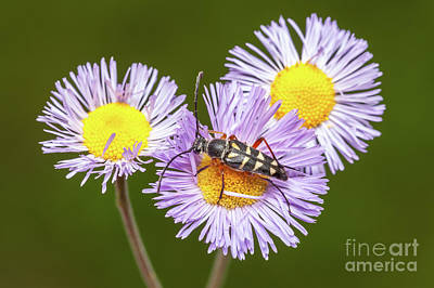 Insects Photograph - Zebra Longhorn On Fleabane I by Clarence Holmes