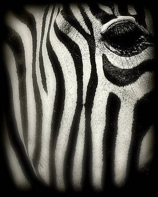 Balck Art Photograph - Zebra by Perry Webster