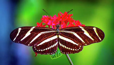 Butterfly Photograph - Zebra Stripes by Mark Andrew Thomas