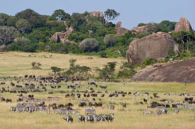 Of Zebra Grazing Photograph - Zebras And Wildebeests Connochaetes by Panoramic Images