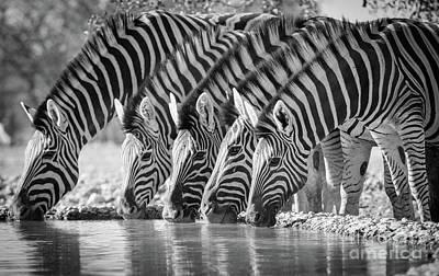 Zebra Photograph - Zebras Drinking by Inge Johnsson