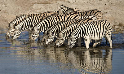 Zebra Digital Art - Zebras Lined Up To Drink by Nancy D Hall
