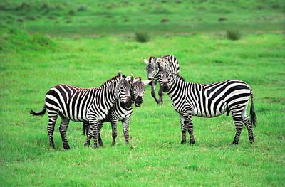 Zebras Print by Sebastian Musial