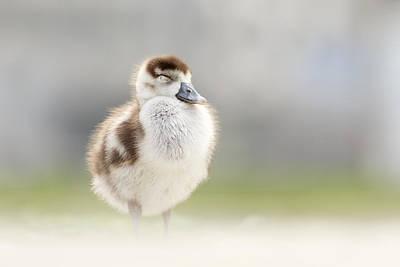 Baby Bird Photograph - Zen Gosling by Roeselien Raimond