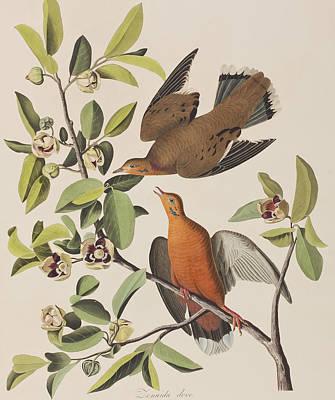 Botanical Art Drawing - Zenaida Dove by John James Audubon