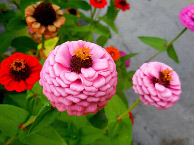 Colorful Photograph - Zinnia Flower 18 by Lanjee Chee