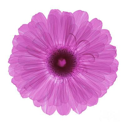 Zinnia Flower, X-ray Print by Ted Kinsman