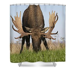 A Large Bull Moose Feeds Near Point Shower Curtain by Doug Lindstrand