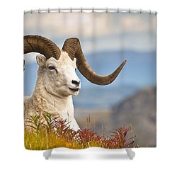 Adult Dall Sheep Ram Resting Shower Curtain by Michael Jones