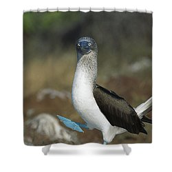 Blue-footed Booby Courtship Dance Shower Curtain by Tui De Roy