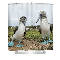 Blue-footed Booby Pair Courting Shower Curtain by Tui De Roy