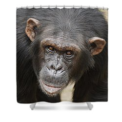 Chimpanzee Portrait Ol Pejeta Shower Curtain by Hiroya Minakuchi