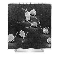 Chlamydomonas, Sem Shower Curtain by David M. Phillips